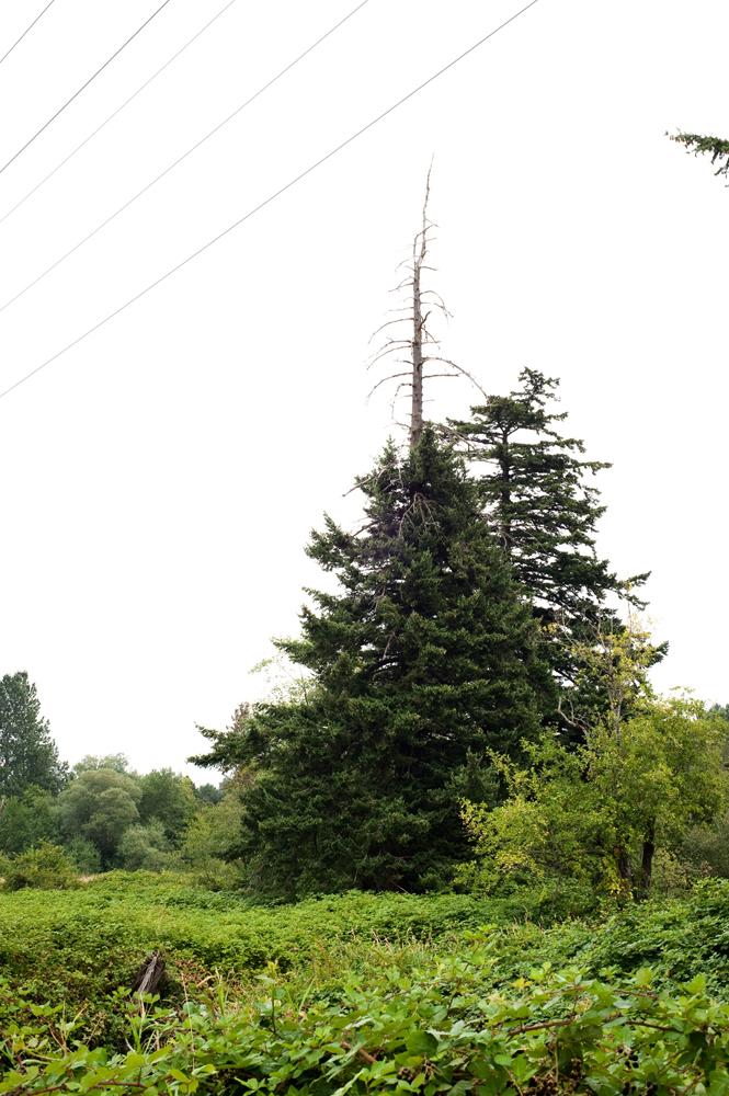 2.Fir_Tree