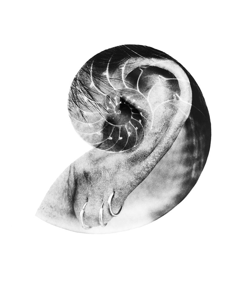 Nautilus_pompilius_1